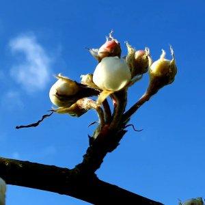April blossom apple